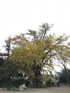 大銀杏の樹